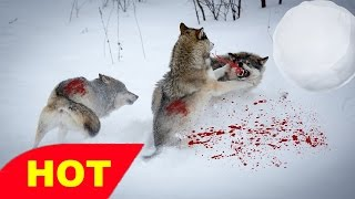 Animal Planet    Discovery Channel    Wildlife Animals    Wolf Documentary