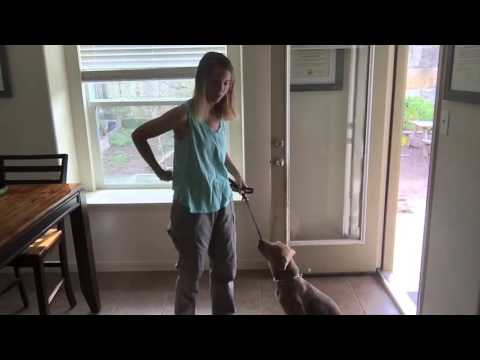 PressleyK-9: Landry Learning The Wait Command At Thresholds