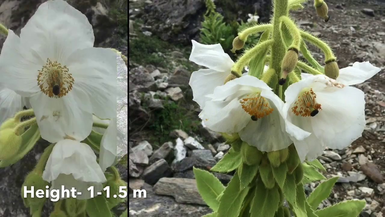 White poppy the last himalayan flower youtube white poppy the last himalayan flower mightylinksfo
