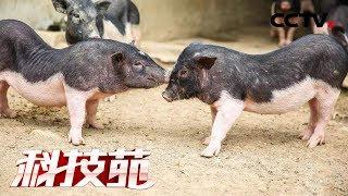 《科技苑》 20190507 嚼槟榔的五脚猪  CCTV农业