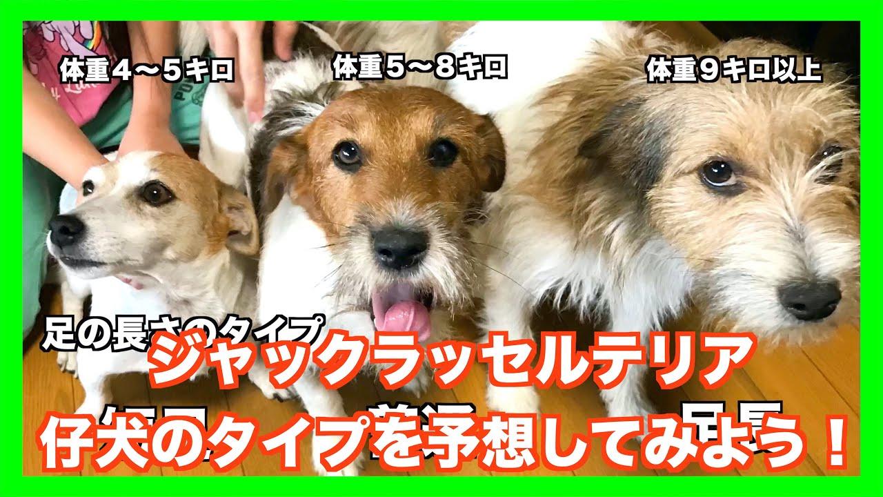 テリア 保護 犬 ジャック ラッセル