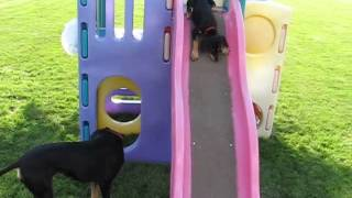 Saluki Puppies Early Agility Training ???    7 25 2015