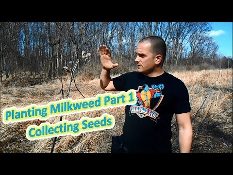 Planting Milkweed Part 1 - Collecting Seeds (Help The Monarch Butterfly)