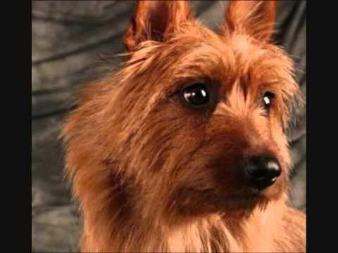 Все породы собак.Австралийский терьер (Australian Terrier)