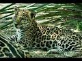 2017 May -Jaguar Cub Mema