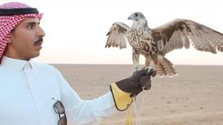 موسم صيد الصقور شمال السعودية