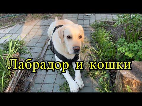 Лабрадор и кошки, как подружить собаку с кошкой
