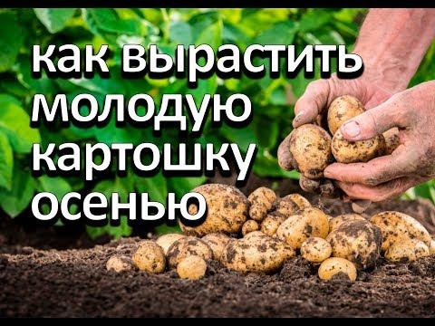 Как вырастить молодую картошку осенью. Второй урожай за год.   выращивание   хозяйство   растения   клубника   картошки   картошка   голубика   рецепты   посадка   ежевика