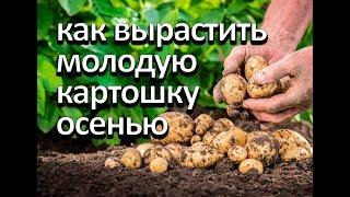 Как вырастить молодую картошку осенью. Второй урожай за год.