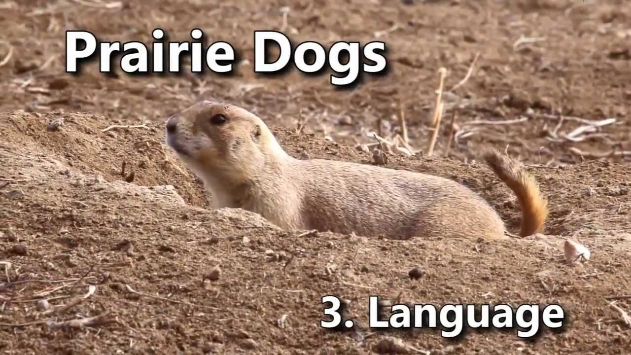 Prairie Dogs: America's Meerkats - 3. Language