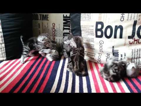 Шотландские котята, черный мрамор на серебре