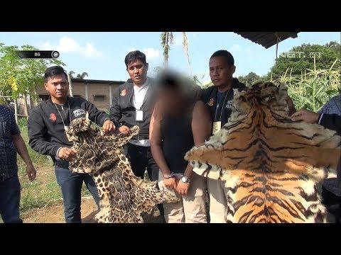 Penangkapan Pedagang Kulit Harimau yang Dijual Senilai 200 Juta - 86