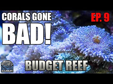 CORALS Gone Bad - Identifying What's Wrong With Your Reef Tank - Beginner Budget Reef Tank