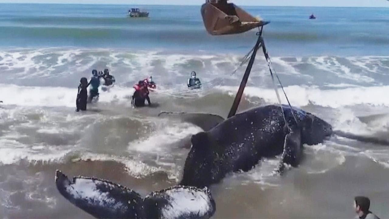 Rescuers Help Beached Humpback Whale Go Back to Sea - YouTube