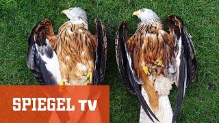 Tierischer Kriminalfall: Vergiftete Greifvögel in der Nähe von Windparks