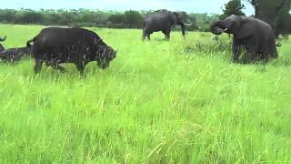 Elephant greets Buffalo, gets chased away