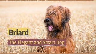 Briard – The Elegant and Smart Dog