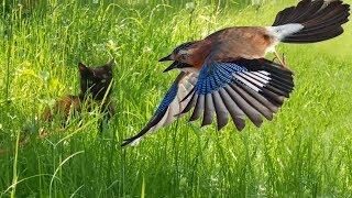Сойка нападает на кошку Мы на даче