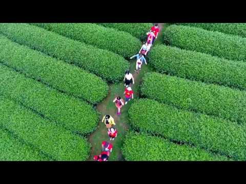 Flycam Đồi chè trái tim   Mộc Châu   Sơn La   UMC