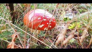 За грибами!Лисички с России! Мои сушенные грибочки!