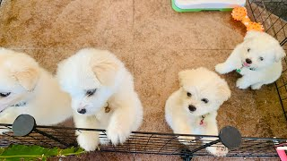 Journey of our 2 months old maltese x japanese spitz puppies