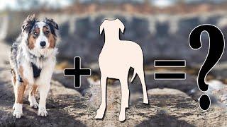 Top 10 Fanciful Australian Shepherd Cross Breeds | Australian Shepherd mix breeds
