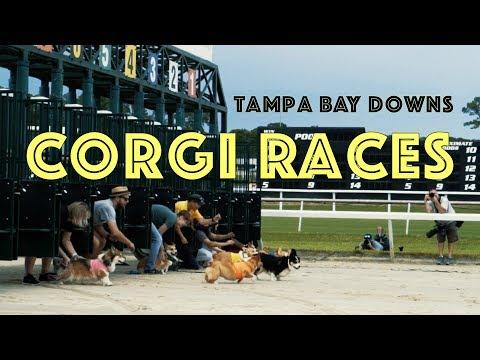 Corgi Races at Tampa Bay Downs | Corgis Running on the Race Track | Corgi Dog Racing