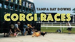 Corgi Races at Tampa Bay Downs   Corgis Running on the Race Track   Corgi Dog Racing