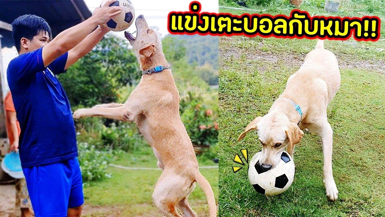 พี่โรบล็อกซ์กระโดดสูงมาก!! แข่งเตะบอลกับหมาใครชนะมาดูกัน!! [ฝึกหมาลาบราดอร์เตะบอล] | คิดดีทีวี