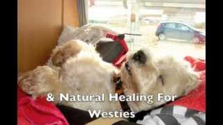 Westie Terrier Dog Problems -- Health Basics