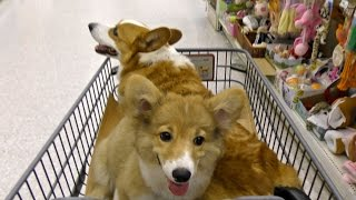 Roku Shopping For The First Time / ロクさん、初めてのお買い物 20150807 Goro@welsh Corgi Puppy 子犬