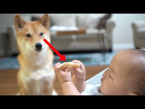 Would Dog Steal Baby's Snack? (hilarious ending)