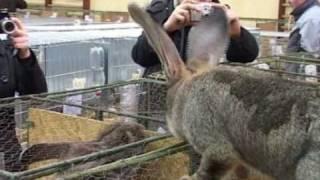 Wystawa królików Wieluń 2011.avi