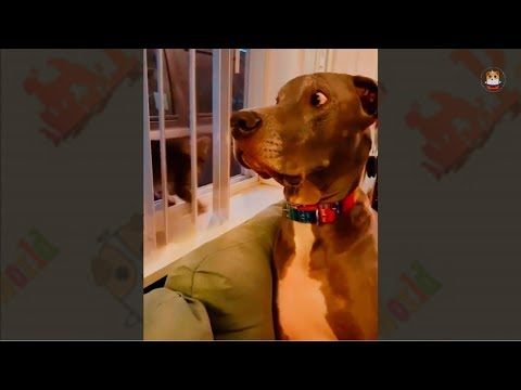 Funny Great Dane Compilation 2017 # 1
