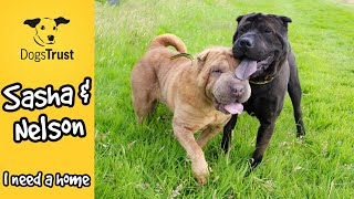 Nelson and Sasha the seriously cute SharPei's | Dogs Trust Leeds