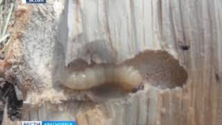 В Нижнеингашском районе обнаружили опасных вредителей леса