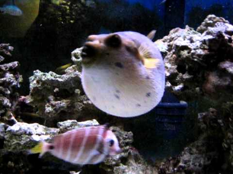 Dogface puffer puffs youtube for Puffer fish puffing