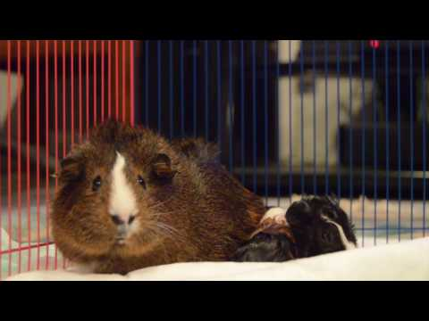Guinea Pig gives birth to 3 babies