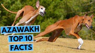 Azawakh  TOP 10 Interesting Facts