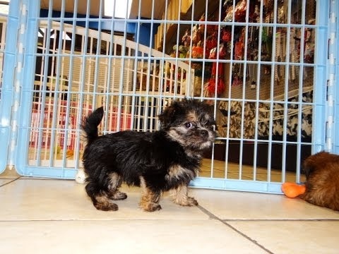 Yorkie Tzu, Puppies, Dogs, For Sale, In Memphis, Tennessee ...