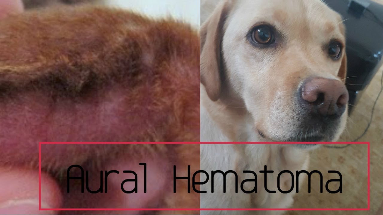 dog hematoma home treatment