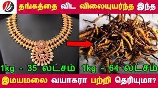 தங்கத்தை விட விலை உயர்ந்த இந்த இமயமலை வயாகரா பற்றி தெரியுமா? | Tamil Health Tips | Latest News