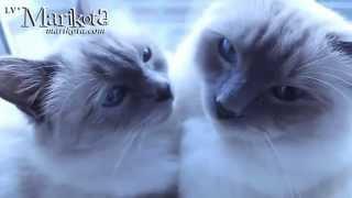 Священная Бирма (питомник кошек marikota.com)