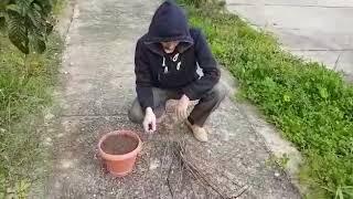 Çelik'ten Ihlamur Ağacı Çoğaltma