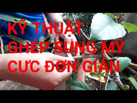 Hướng dẫn ghép Sung Mỹ lên cây Sung Việt Nam đơn giản. Grafting technique for fine fig tree