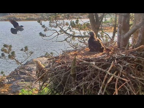 Smola Norway Eagle Nest Cam ~ Crows Visit The Nest Tree 6.9.17