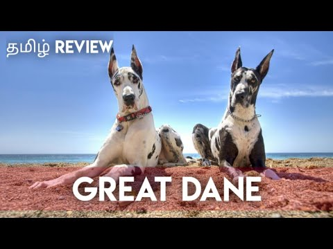 Great dane dog breed| facts and information | PETS ULAGAM TAMIL |