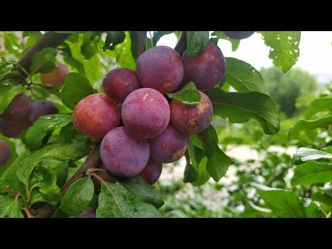 Damson plums  #Nagar #Hunza @GB