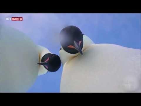 İki imparator penguenin, buzullara bırakılan kameraya ilgileri