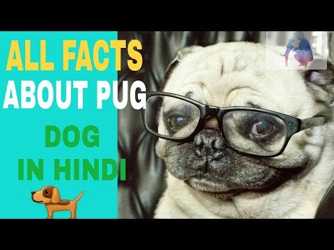 pug dog information in hindi